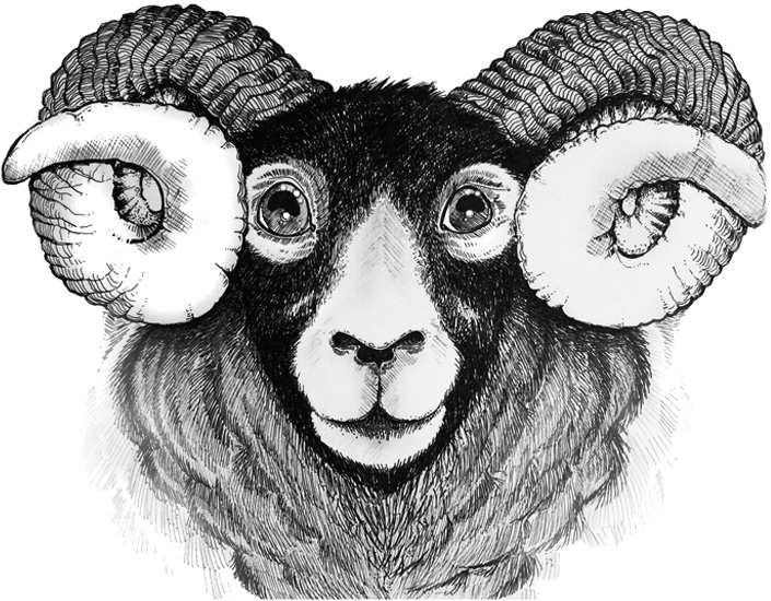 Scottish Ram - Pen and ink