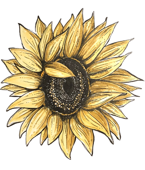Sunflower - Pen and ink