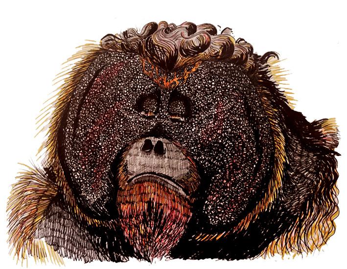 Orangutan -